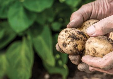 J3C partenaire des pommes de terre