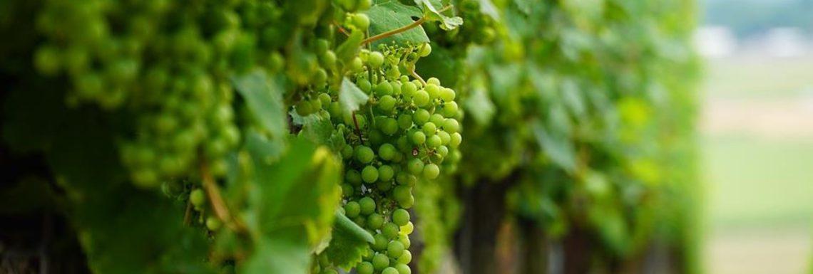 Belle vigne sans raisin ne vaut rien